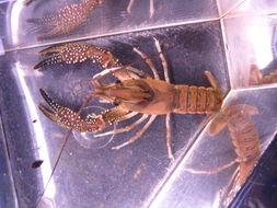 Image of <i>Procambarus</i> (<i>Pennides</i>) <i>spiculifer</i> (Le Conte 1856)