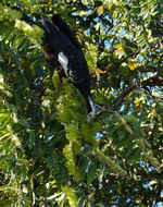 Image of Common Piping Guan