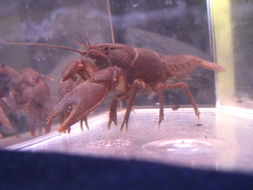 Image of Little Tennessee crayfish