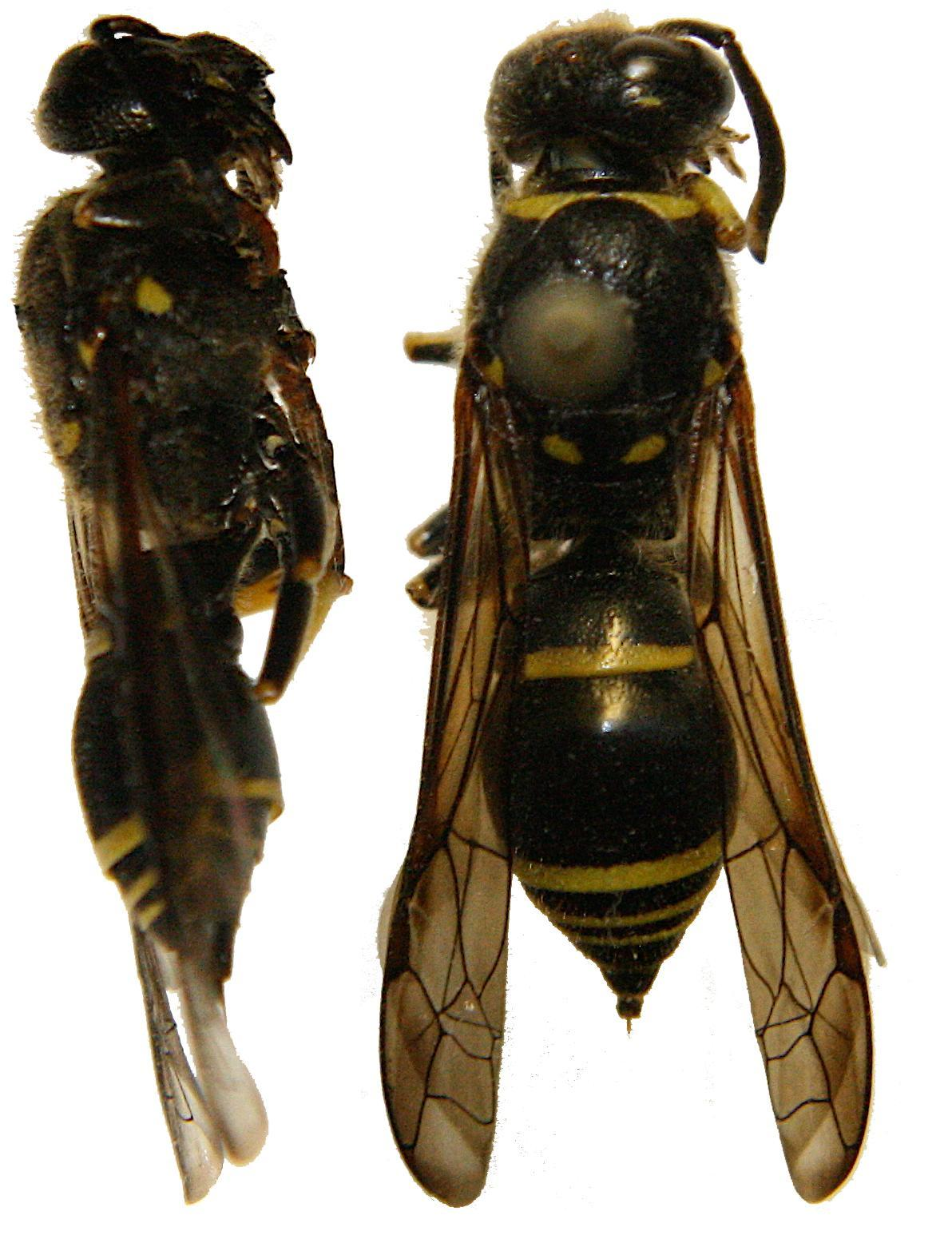 Image of <i>Ancistrocerus antilope</i> (Panzer 1789)