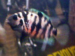 Image of <i>Archocentrus nigrofasciatus</i>