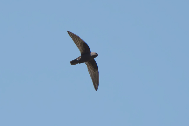Image of Sooty Swift