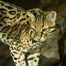 Image of Ocelot