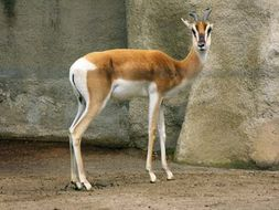Image of gazelles