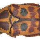 Image of <i>Pachnoda cordata</i> (Drury 1773)