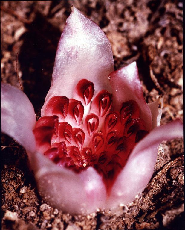 Image of Western underground orchid