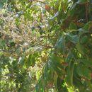 Image of dimocarpus