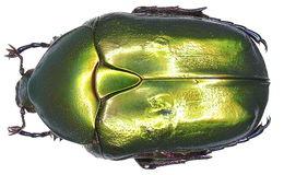 Image of <i>Protaetia</i> (<i>Potosia</i>) <i>cuprea obscura</i> (Andersch 1797)