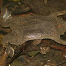 Image of Surinam Toad