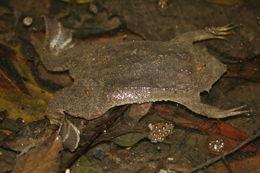 Image of Surinam Toad