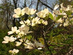 Image of flowering dogwood