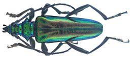 Image of <i>Mecosaspis croesus femorata</i> (Aurivillius 1890)