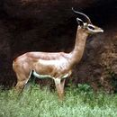 Image of Gerenuk