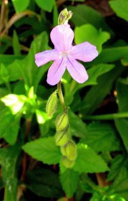 Image of <i>Priva bahiensis</i> Schauer
