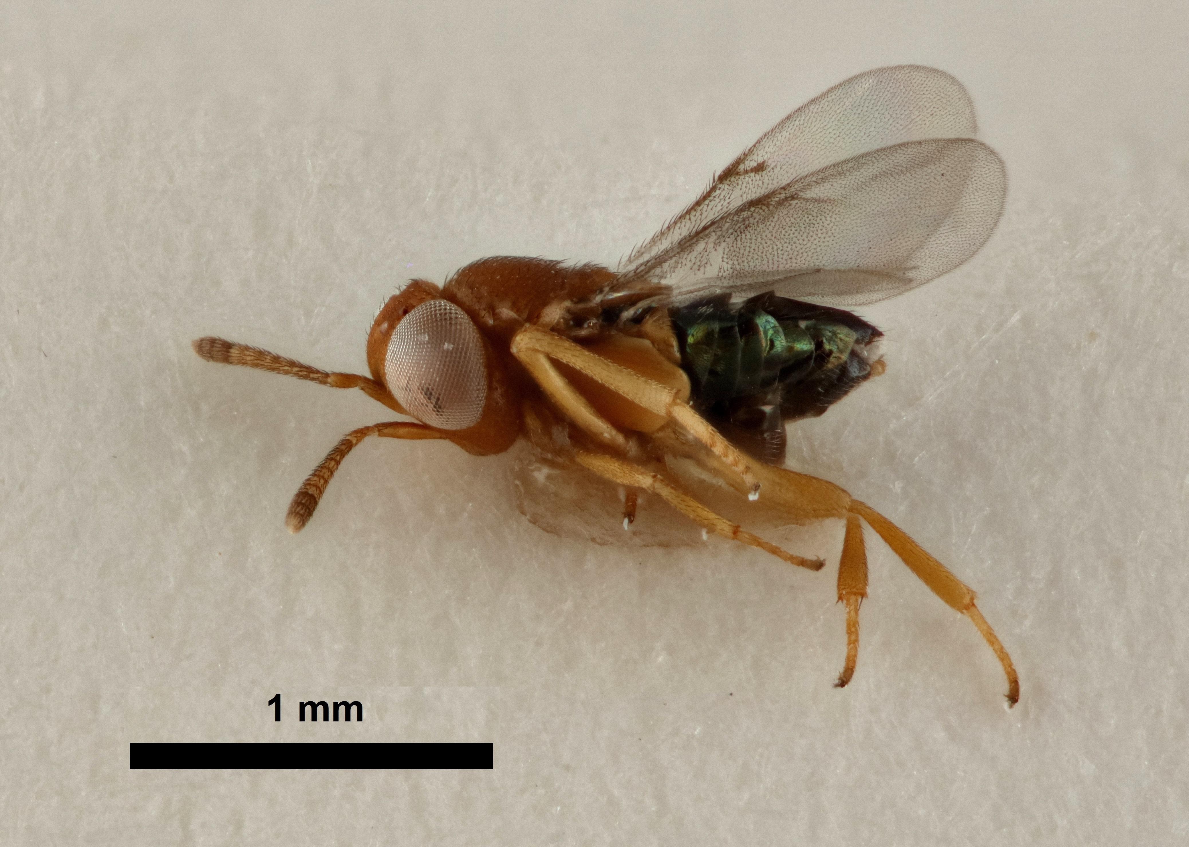 Image of <i>Tachardiaephagus somervilli</i>