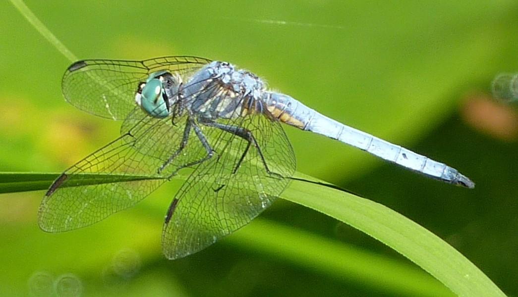 Image of <i>Erythrodiplax longipennis</i>