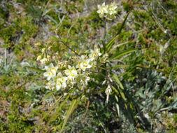 Image of meadow deathcamas