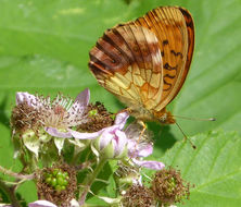 Image of Lesser Marbled Fritillary