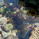 Image of Iridescent Seaweed
