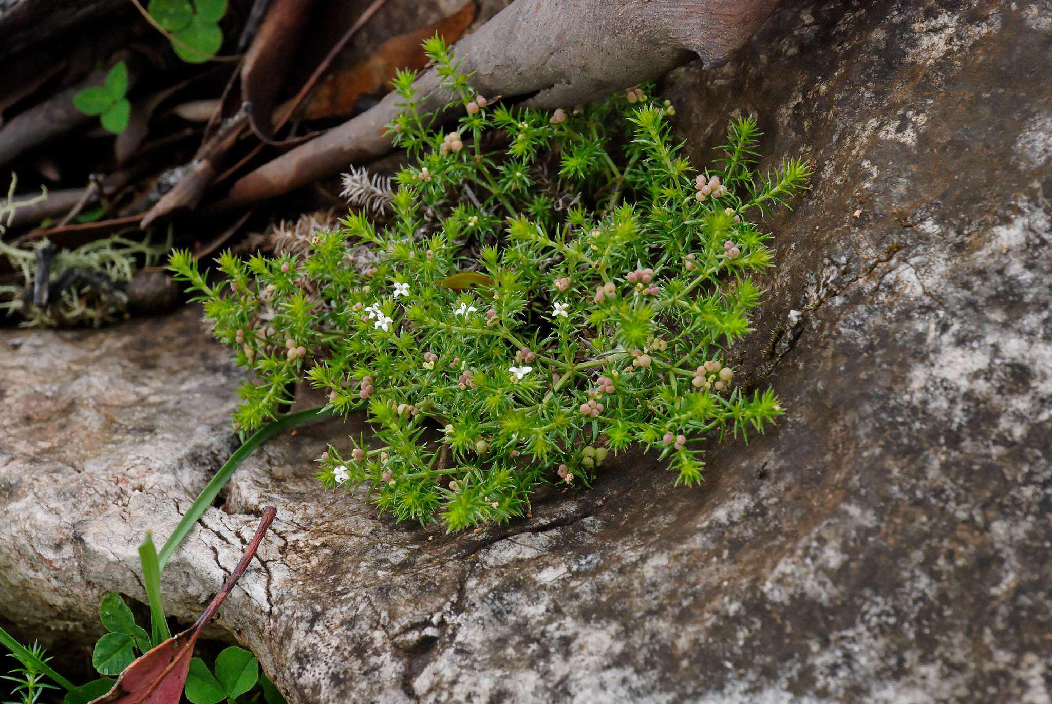 Image of <i>Asperula scoparia</i> Hook. fil.