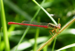 Image of Small Red Damselfly
