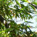 Image of giant bamboo