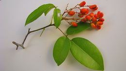 Image of <i>Rourea gardneriana</i> Planch.