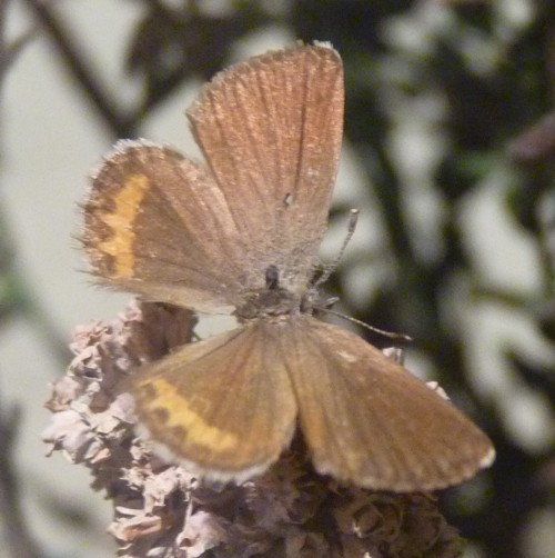 Image of Square-spotted Blue
