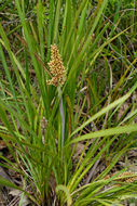 Image of <i>Lomandra longifolia</i> ssp. <i>exilis</i>