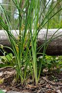 Image of <i>Lomandra filiformis</i> ssp. <i>coriacea</i>