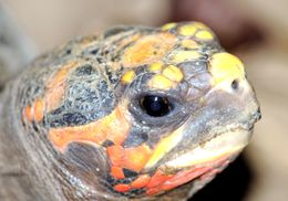 Image of Redfoot tortoise