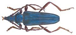 Image of <i>Mecosaspis atripennis rufipes</i> Jordan 1894