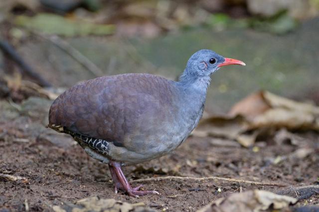 Image of Tataupa Tinamou