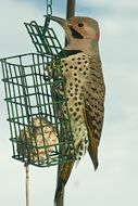 Image of Yellow-shafted Northern Flicker