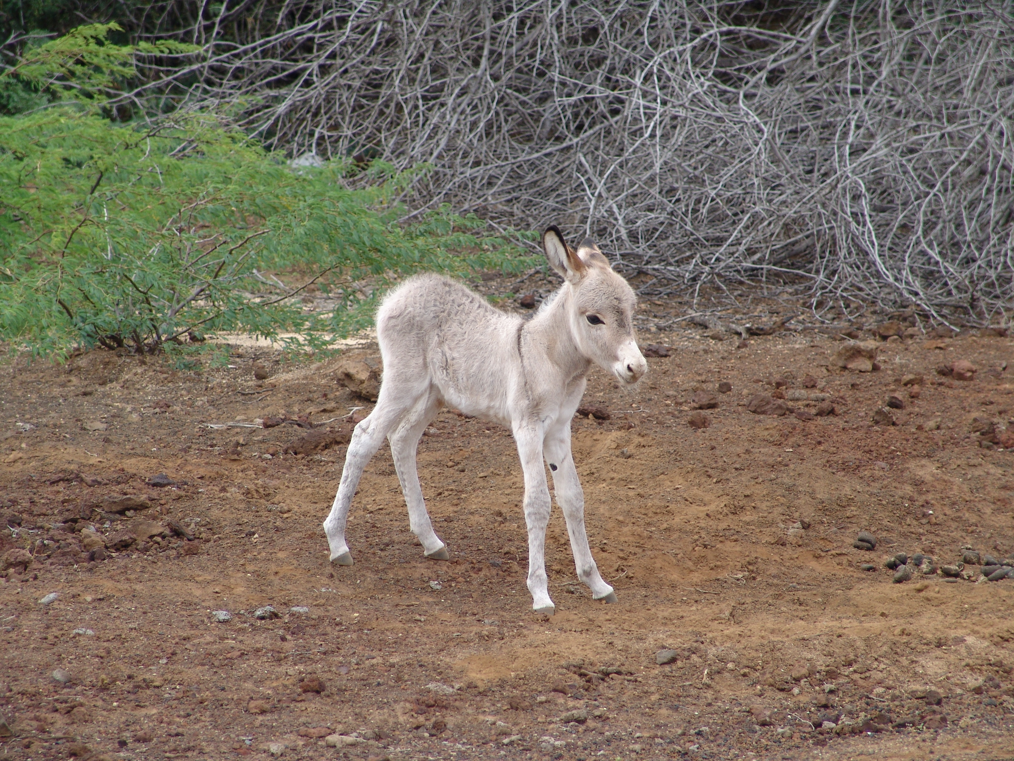 Image of Ass -- Feral donkey