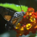 Image of Hummingbird Hawk-moth