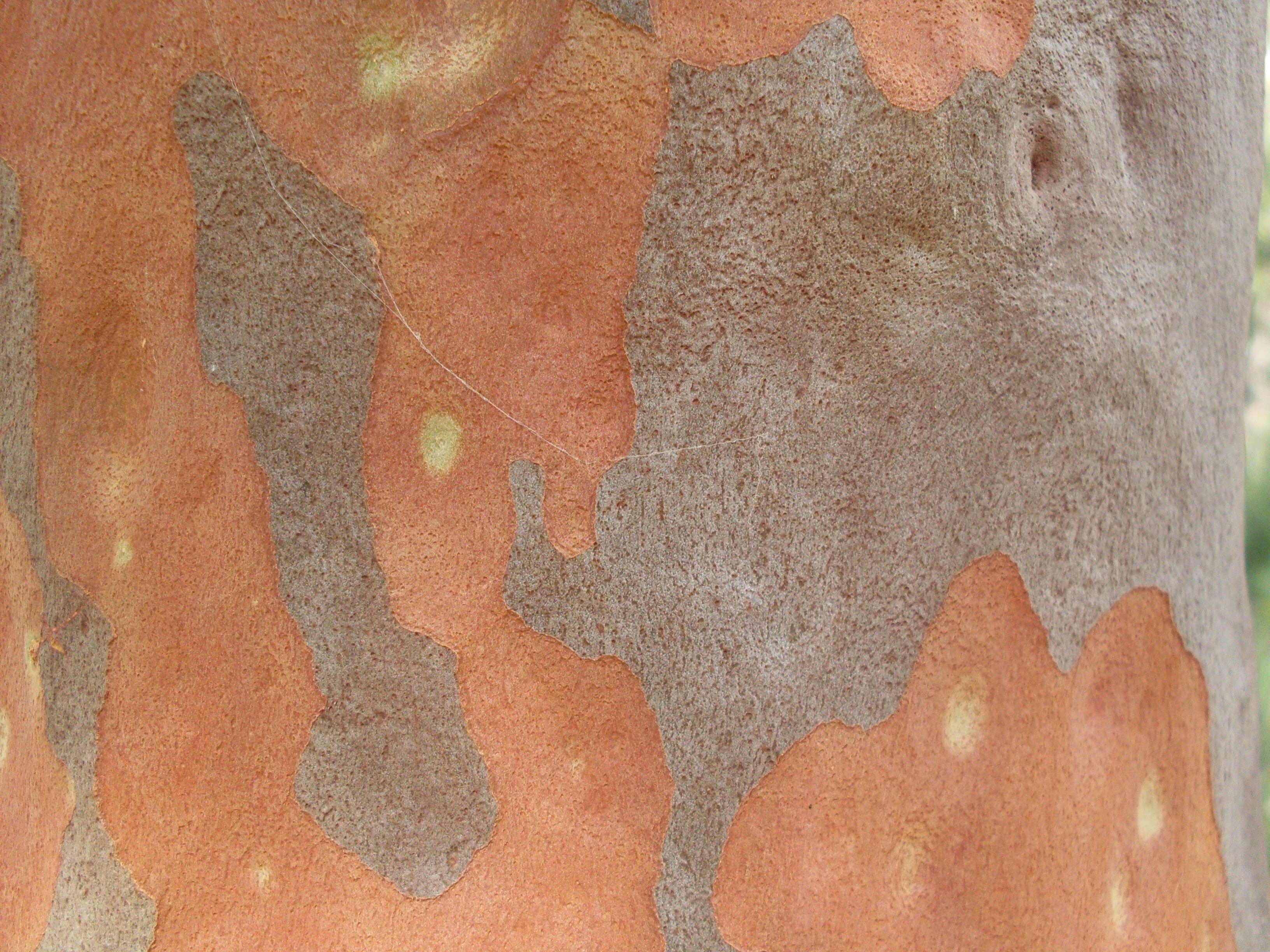 Image of Brittle Gum