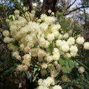 Image of South Wales wattle