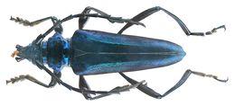 Image of <i>Mecosaspis severa chrysogaster</i> (Bates 1879)