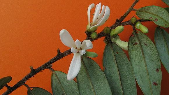 Imagem de <i>Xylopia frutescens</i> Aubl.
