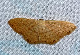 Image of <i>Scopula serena</i> Prout 1920