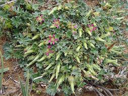 Image of <i>Geranium brevicaule</i> Hook.
