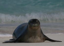 Image of Hawaiian Monk Seal