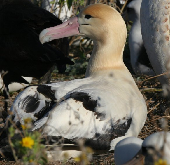 Image of Short-tailed Albatross