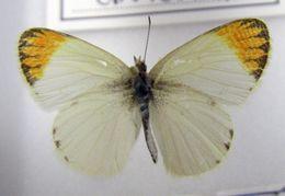 Image of <i>Colotis evagore</i> (Klug 1829)
