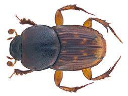 Image of <i>Euoniticellus fumigatus</i> (Boucomont 1923)