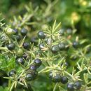 Image of <i>Asparagus aphyllus</i> L.