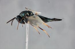 Image of <i>Pteromalus almeriensis</i> Gijswijt 1999