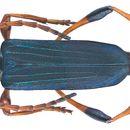 Image of <i>Phyllocnema</i> (<i>Phyllometalla</i>) <i>viridicostata</i> Fairmaire 1882