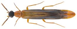 Image of Timber Beetle